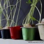 Lentejas germinadas en cápsulas de café recicladas