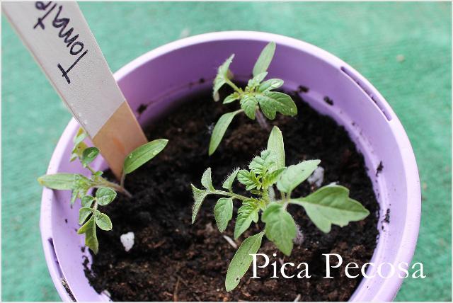 como-hacer-huerto-urbano-tutorial-consejos-conservacion-tomatera