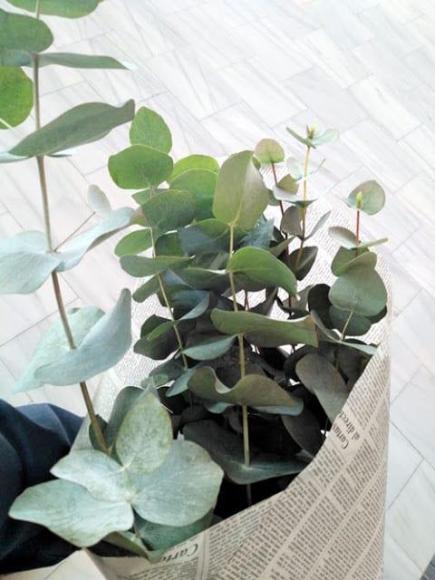 ramo-ramas-eucalipto